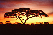 Africa Wall Art Prints - Tree of Life Africa Print by Jerome Stumphauzer