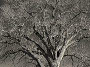 Cottonwood Photos - Tree of Life by Scott McGuire