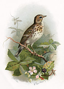 Bird Drawing Posters - Tree Pipit, Historical Artwork Poster by Sheila Terry