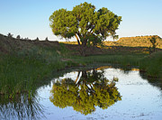 Oklahoma Landscapes Posters - Tree Reflecting In Creek Near Black Poster by Tim Fitzharris