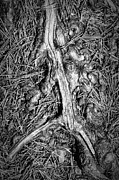 Pine Needles Framed Prints - Tree Root With Pine Needles Framed Print by Paul Causie