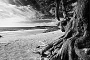 Carmel Prints - Tree Roots Carmel Beach Print by George Oze