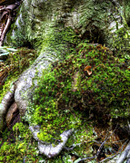 Tree Roots Photo Prints - Tree Roots Print by Steve Hurt