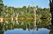 Tree Reflections In Water Posters - Tree Stumps in the River Poster by Kaye Menner