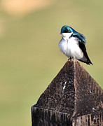 Wildlife - Tree Swallow 1 by Todd Hostetter