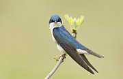Mircea Costina Photography - Tree Swallow