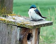 Birdhouse Photos Photos - Tree Swallow by Nick Gustafson