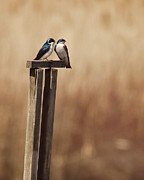 Perching Prints - Tree Swallows On Wood Post Print by Jody Trappe Photography