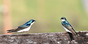 Swallow Photos - Tree Swallows by Todd Hostetter