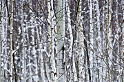 Winter Art - Tree trunks covered with snow in winter by Elena Elisseeva