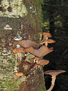 Trumpeters Prints - Tree with a Fungus Print by Roger Reeves  and Terrie Heslop