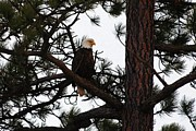 Eagles Prints - Treed Eagle Print by Don Mann