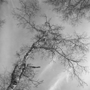 Wintry Originals - Trees Against Winter by Arni Katz