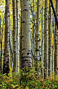 Telluride Framed Prints - Trees for the Forest Framed Print by Jennifer Grover