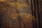Carter Art - Trees In Autumn Hues In A Foggy Forest by Raymond Gehman