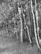 Tree Bark Photos - Trees in Summer Black and White by Jennie Marie Schell