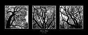 Central Park Mixed Media Acrylic Prints - Trees in Threes Acrylic Print by Diane C Nicholson