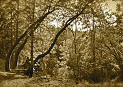 Fantasy Dreamy Oak Trees Posters - Trees Leaning sepia Poster by Maynard Smith