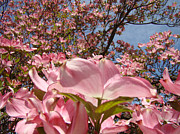 Flora Art Prints - Trees Nature Fine Art Prints Pink Dogwood Flowers Print by Baslee Troutman Fine Art Prints
