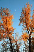 Crescent Moon Framed Prints - Trees of gold Framed Print by Toni Hopper