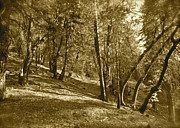 Fantasy Dreamy Oak Trees Posters - Trees on a Slope 2 sepia Poster by Maynard Smith