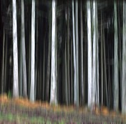 Conifer Prints - Trees trunks Print by Bernard Jaubert