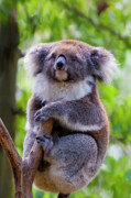 Koala Photos - Treetop Koala by Mike  Dawson