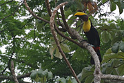 Toucan Originals - Treetop Toucan by JD Photography