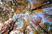 Fall Photo Metal Prints - Treetops Metal Print by Elena Elisseeva