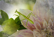 Praying Mantis Framed Prints - Trek Upon Dahlia Framed Print by Christine Belt