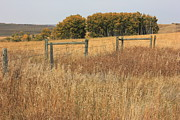 Barbed Wire Fences Prints - Trembling Aspens in Autumn Print by Jim Sauchyn