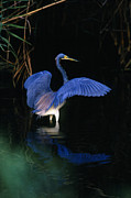 Tri Colored Heron Posters - Tri-colored Heron - FS000031 Poster by Daniel Dempster