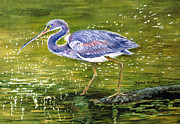 Sparkling Painting Framed Prints - Tri Colored Heron Framed Print by Barbel Amos