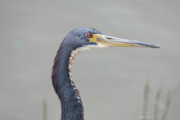 Tri Colored Prints - Tri Colored Heron Print by Deborah Benoit