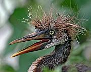 Tricolored Prints - Tri-colored Heron Nestling Print by Larry Linton
