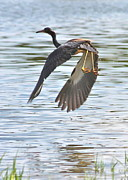 Tri Colored Heron Posters - Tri Colored Heron over the Pond Poster by Carol Groenen