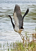 Tri Colored Prints - Tri Colored Heron Takeoff Print by Carol Groenen