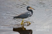 Tri Colored Heron Posters - Tri-Colored Heron Wading in the Marsh Poster by Carol Groenen