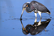 Tri Colored Prints - Tri Heron feeding Print by Richard Mann