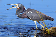 Tricolored Heron Photos - Tri Heron Fishing by Richard Mann