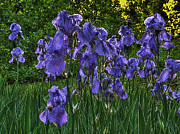 Backlit Photo Originals - Tribe of Iris by William Fields