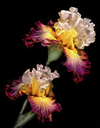 Yellow Bearded Iris Photos - Tricolor Iris Pair by Dave Mills