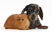 Dachshund Puppy Posters - Tricolor Merle Dachshund Pup And Red Poster by Mark Taylor