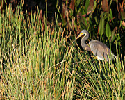 Wildlife Sunset Posters - Tricolored Blue Heron In the Reeds Poster by Sabrina L Ryan