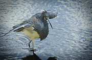 Tri Colored Heron Posters - Tricolored Heron Poster by Carolyn Marshall