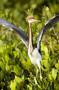 Spans Prints - Tricolored Heron Egretta Tricolor Print by Tim Laman