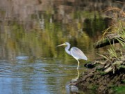 Tri Colored Heron Photos - Tricolored Heron Fishing by Al Powell Photography USA