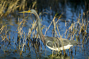 Tricolored Prints - Tricolored Heron Hunting Print by Rich Franco