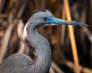 Egretta Thula Photos - Tricolored Heron in Breeding Plumage by Rich Leighton