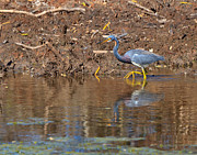 Louisiana Heron Posters - Tricolored Heron in the winter marsh Poster by Louise Heusinkveld